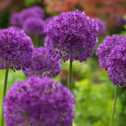 Purple Alliums Sensation