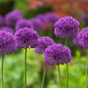 allium bulbs purple sensation