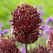 Allium Red Mohican - Unique Allium - Loved by bees and butterflies