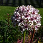 Allium Silver Spring USA flower bulbs