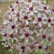 Allium flower bulbs Silver Spring USA
