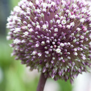 Allium Summer Drummer - Purple and White very tall blooming allium