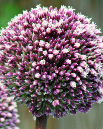 Allium Summer Drummer - Purple and White Ornamental Onion