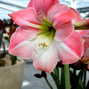 Amaryllis Apple Blossom Flower Bulbs