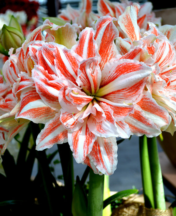 Double Amaryllis Dancing Queen