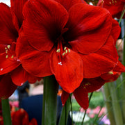 Red Amaryllis Ferarri Flower Bulbs
