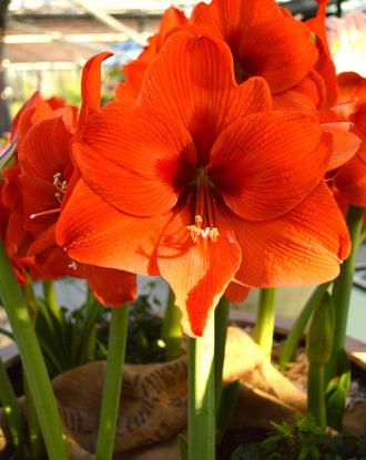 Amaryllis Orange Desire