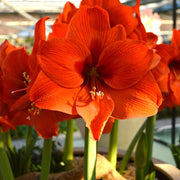Orange Amaryllis Bulbs