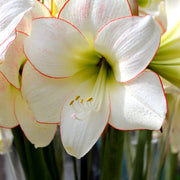 Amaryllis Picotee Flower Bulbs