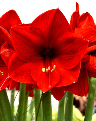 Jumbo Amaryllis Red Lion Bulbs