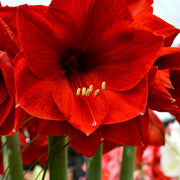Wholesale Red Amaryllis Bulbs