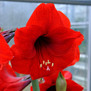 Jumbo Amaryllis Red Lion Flower Bulbs