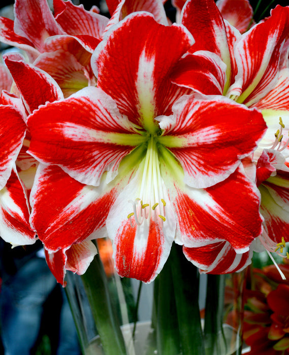 Red and white amaryllis bulbs