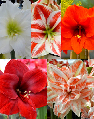 Jumbo Amaryllis Bulbs from Holland