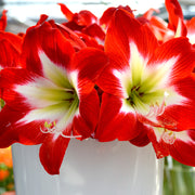 Jumbo Amaryllis Tres Chic Flower Bulbs