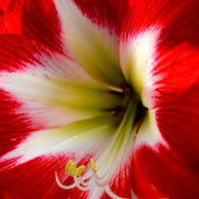 Amaryllis Tres Chic Bulbs