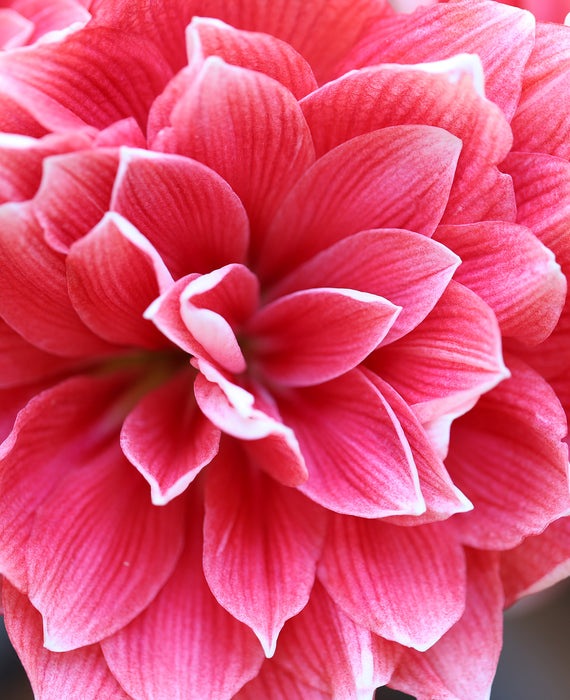 Jumbo Double Amaryllis Double Dream - Pink