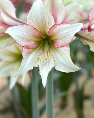 Jumbo Amaryllis Magic Green Bulbs Huge Flowers