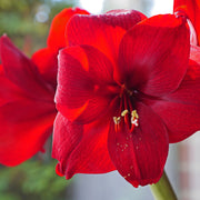 Red Multi Amaryllis Red Tiger by DutchGrown