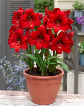 Amaryllis Red Tiger