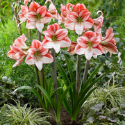 Multi Amaryllis Table Dance Holiday flowers