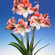 Multi Amaryllis White Red flames - Table Dance