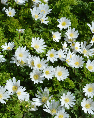 Anemone Blanda White Splendour (Windflowers)