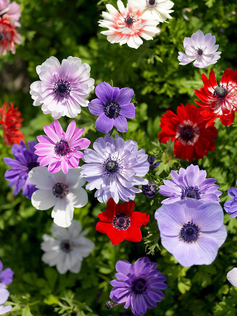 Anemone St. Brigid Windflowers - Mixed Colors