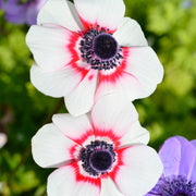 Anemone de Caen Bi Color