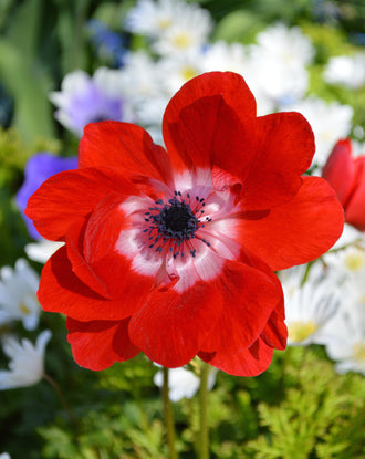 Anemone de Caen Hollandia - Red Wind Flowers