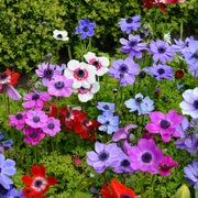 Anemone de Caen Bulbs Windflower - Red, White, Purple and Blue Wind Flowers