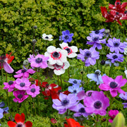 Anemone de Caen Mixed Windflowers - Red, White, Purple and Blue Wind Flowers