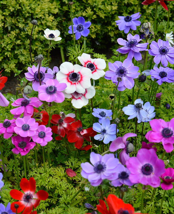 Anemone de Caen Mixed - Red, White, Purple and Blue Wind Flowers