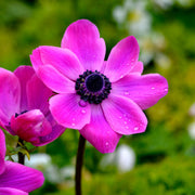 Pink Purple  Anemone bulbs - Sylphide