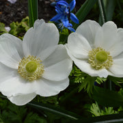 Anemone The Bride White Windflowers - Wedding Flowers