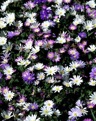 Anemone Blanda Mixed - Windflowers