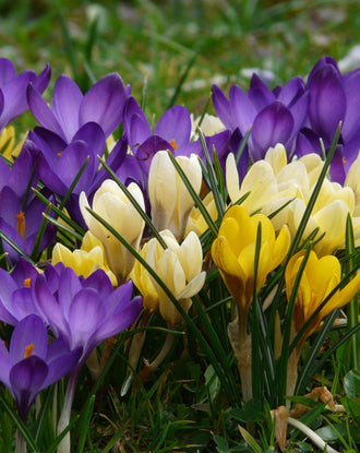 Botanical Crocus Mixed (Snow Crocus)