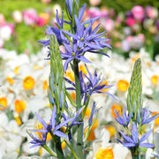 Camassia bulbs - Blue Camas Lily
