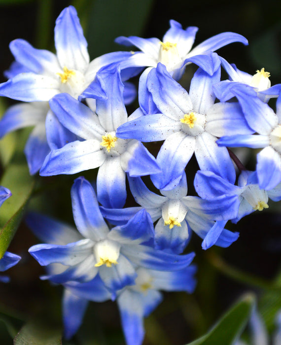 Chionodoxa Lucilea (Glory of the Snow) - Blue Naturalizing Bulbs