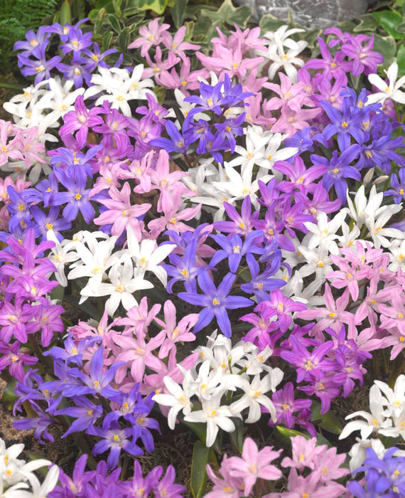 Chionodoxa Lucilea Glory of the Snow Bestseller Mix