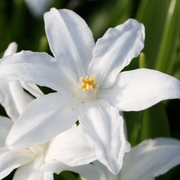 Chionodoxa Lucilea Alba (Glory of the Snow) - White Early Blooming Flower Bulbs