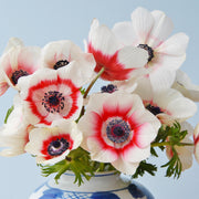 Anemone de Caen Bi-Color Bulbs Red-White
