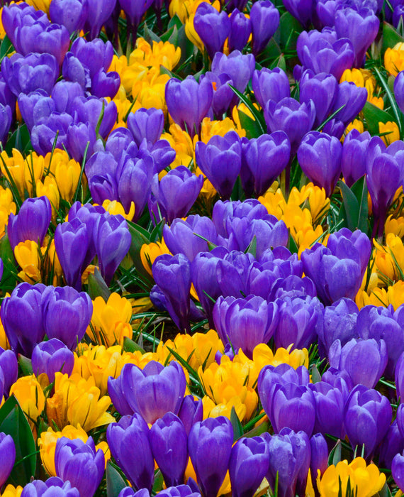 Purple and yellow crocus bulbs