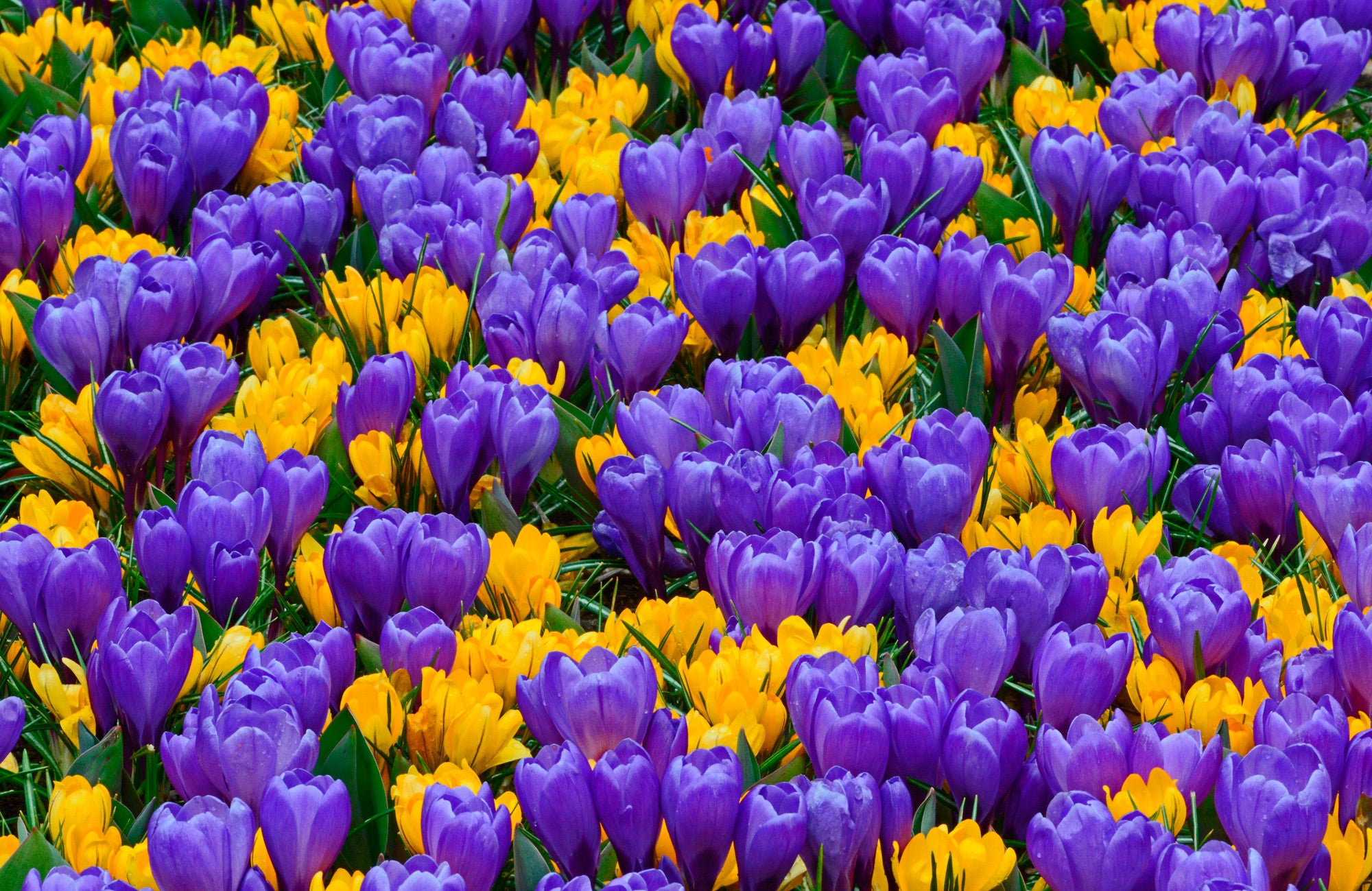Crocus Dutchgrown
