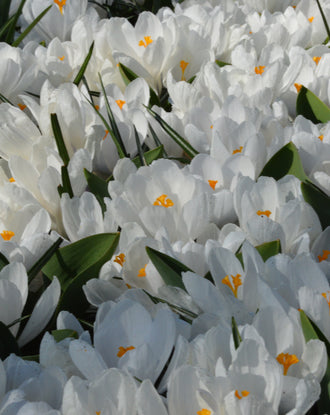 Crocus Jeanne d'Arc bulbs
