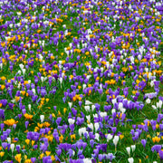 Mixed Jumbo Crocus flower bulbs