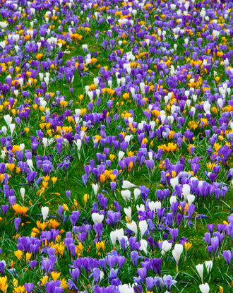 Wholesale jumbo crocus bulbs