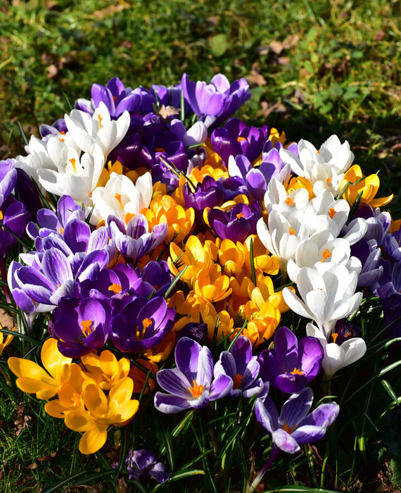 Jumbo Crocus mixed bulbs