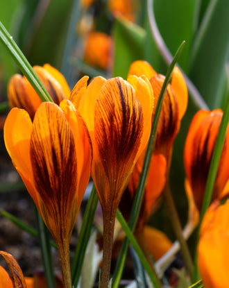 Orange crocus bulbs