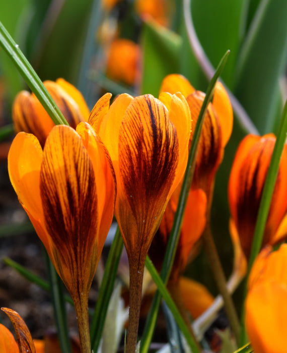Orange Monarch crocus bulbs